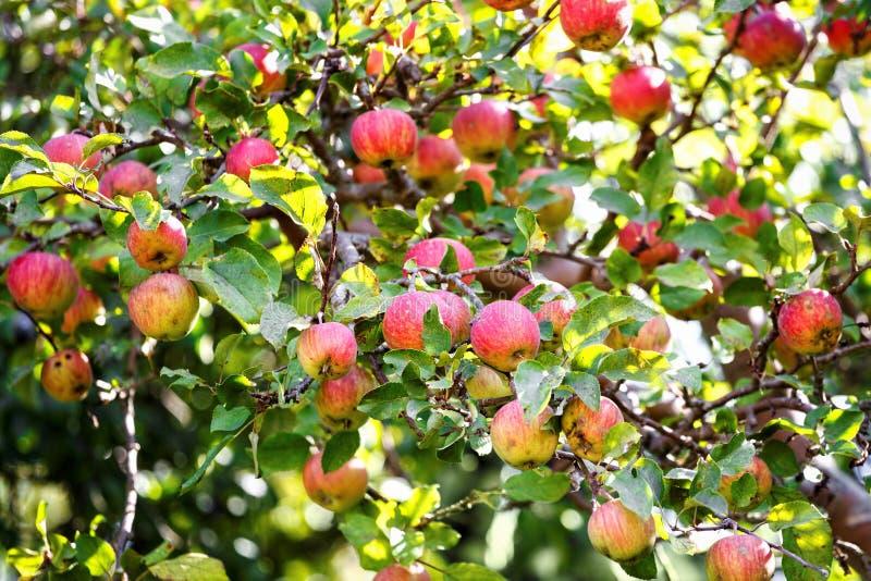 Grupo de maçãs vermelhas em uma árvore de maçã fotos de stock