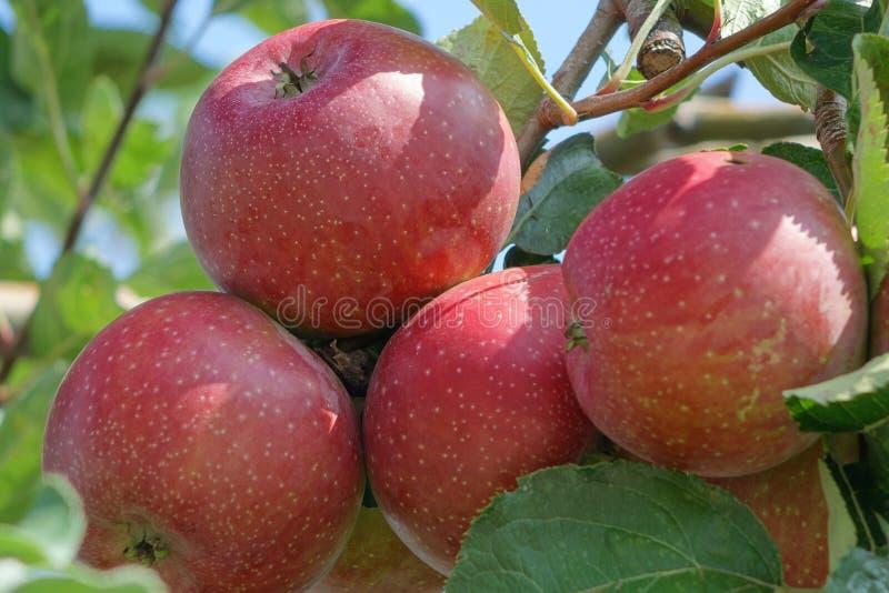 Grupo de maçãs vermelhas (gala) nas árvores imagens de stock
