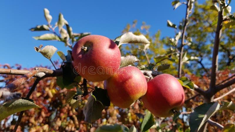 Grupo de maçãs vermelhas suculentas maduras no ramo de árvore foto de stock royalty free