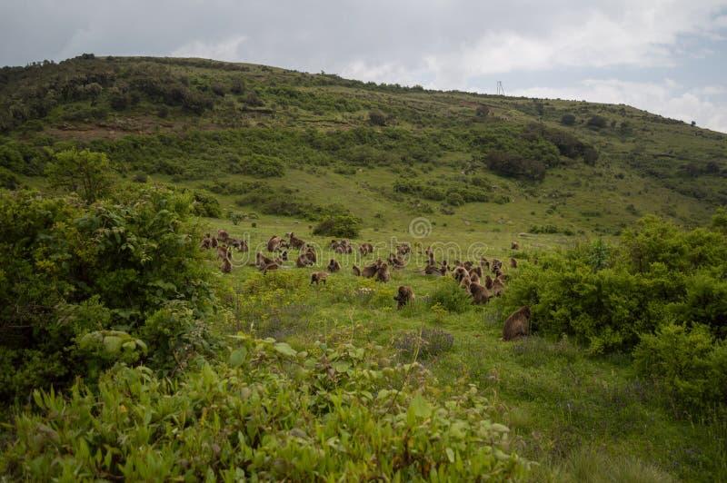 Grupo de macacos de Gelada nas montanhas de Simien, Etiópia fotos de stock