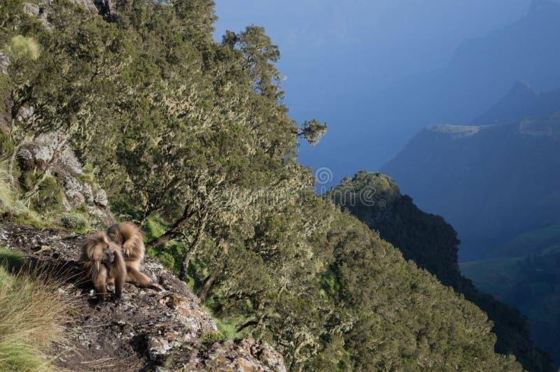 Grupo de macacos de Gelada nas montanhas de Simien, Etiópia fotografia de stock royalty free
