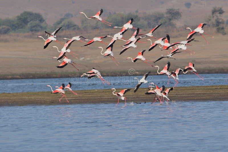 Grupo de maior voo do flamingo imagens de stock