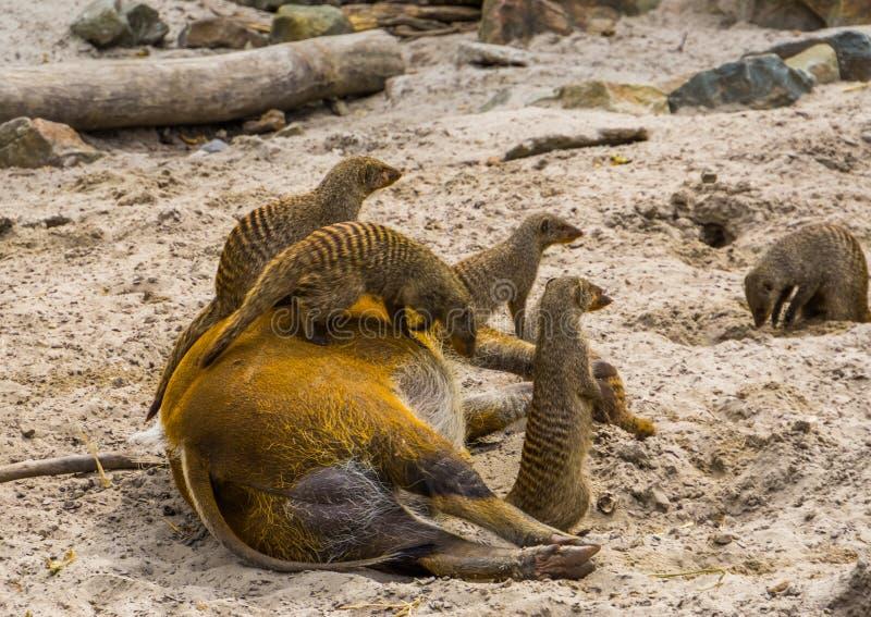 Grupo de mangustos unidos que sentam-se sobre um porco de Red River, espécie animal tropical de África, unidade animal foto de stock royalty free
