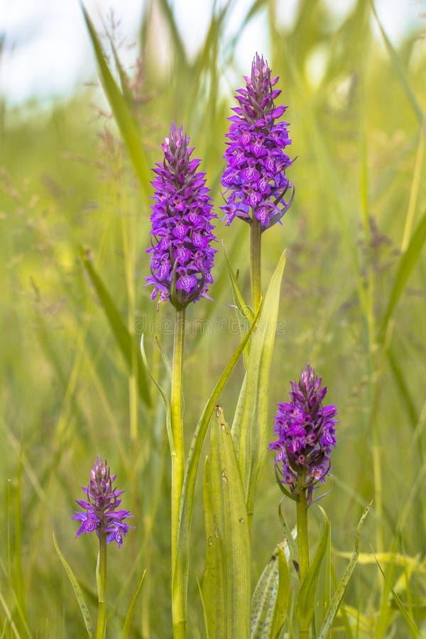 Grupo de Marsh Orchid occidental en actitud de la familia foto de archivo libre de regalías