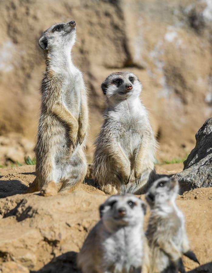 Grupo de meerkats fotos de archivo