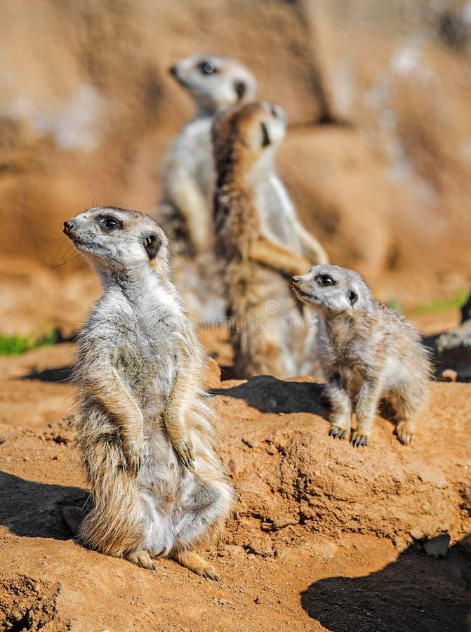 Grupo de meerkats imagen de archivo