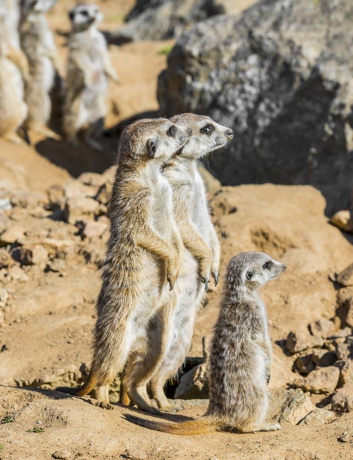 Grupo de meerkats foto de archivo libre de regalías