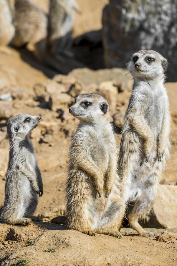 Grupo de meerkats imágenes de archivo libres de regalías
