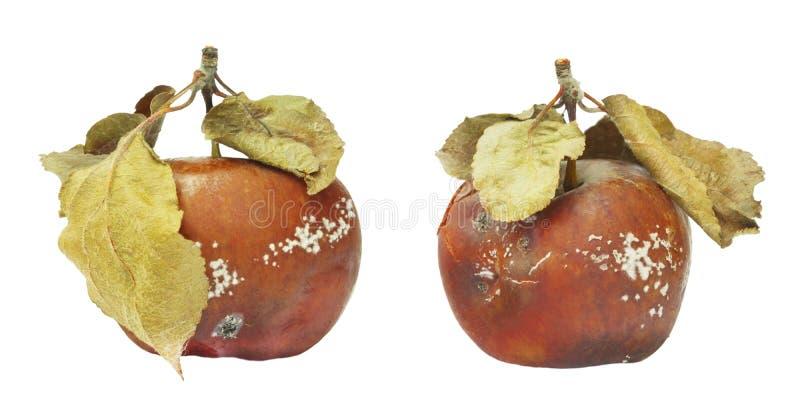Grupo de molde que cresce na maçã velha Isolado na foto branca do fundo A contaminação de alimentos, mau estragou organi podre re foto de stock royalty free