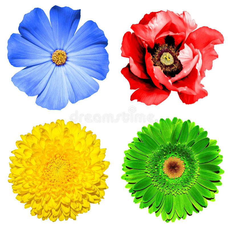 Grupo de 4 nas flores 1: crisântemo amarelo, gerbera verde, prímula azul e flor vermelha da papoila isolados fotografia de stock royalty free
