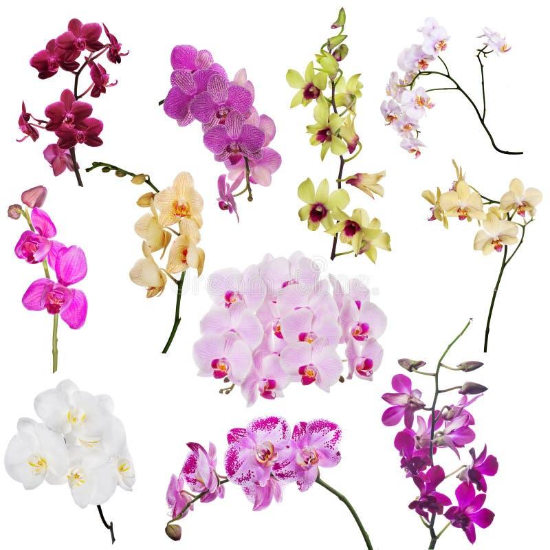 Grupo de onze ramos florais da orquídea isolados no branco ilustração royalty free