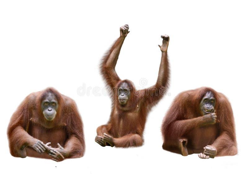 Grupo de orangotango da imagem imagens de stock