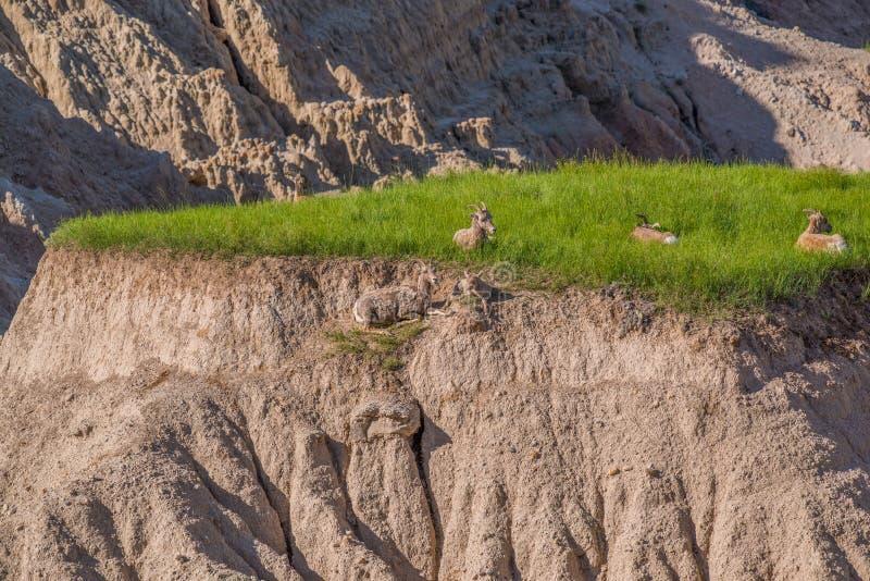 Grupo de ovejas de carnero con grandes cuernos en una meseta de una colina en el parque nacional de los Badlands imágenes de archivo libres de regalías