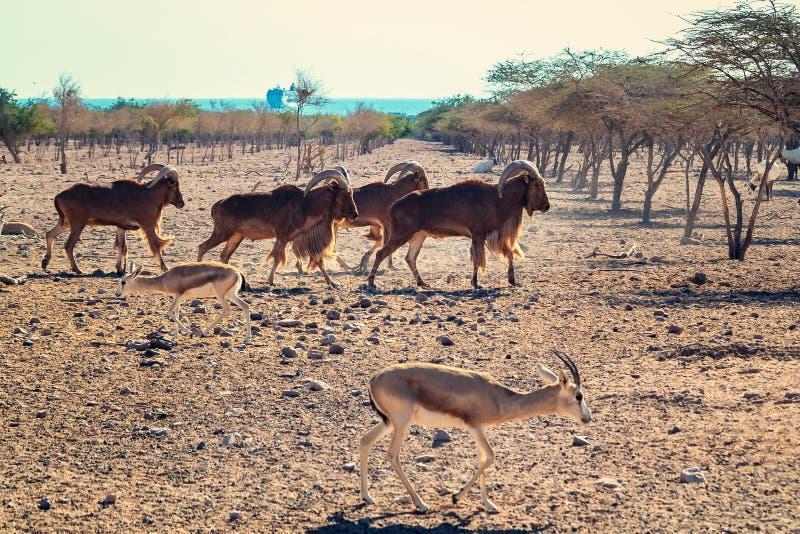 Grupo de ovejas de montaña del ammon del Ovis en un parque del safari en la isla de Sir Bani Yas, United Arab Emirates fotos de archivo