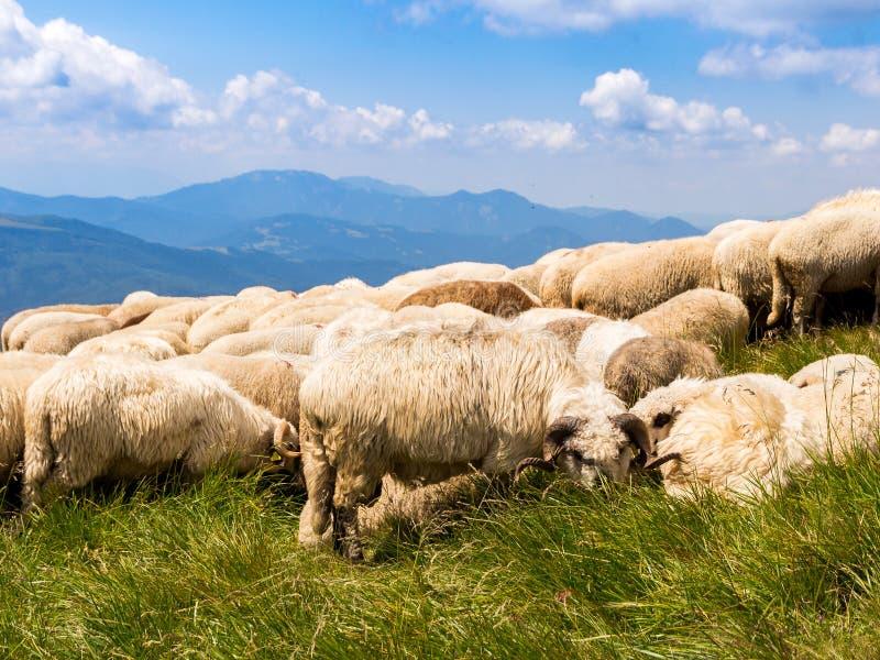 Grupo de ovejas que comen la hierba y que descansan en el medio de un día de verano caliente, encima en de las montañas de Ciucas foto de archivo libre de regalías