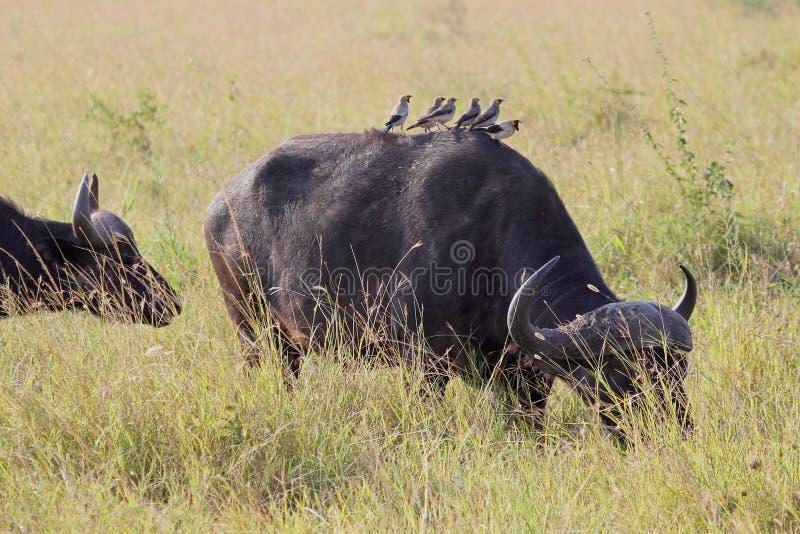 Grupo de oxpeckers amarillo-cargados en cuenta en un búfalo africano foto de archivo libre de regalías