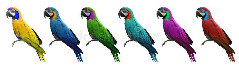 Grupo de pájaro colorido de los macaws aislado en el fondo blanco con fotografía de archivo