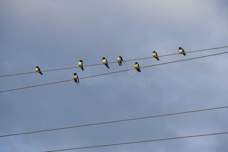 Grupo de pájaros en los alambres libre illustration