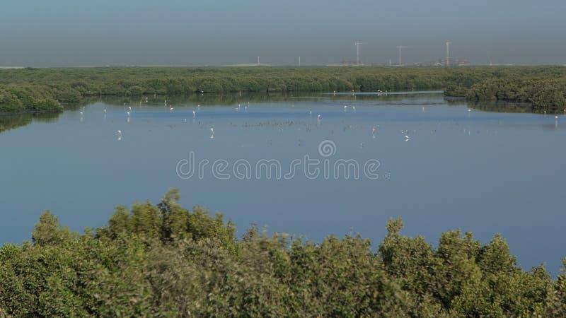 Grupo de pássaros bonitos do flamingo com reflexões, andando no timelapse do lago em Ajman, UAE imagem de stock royalty free