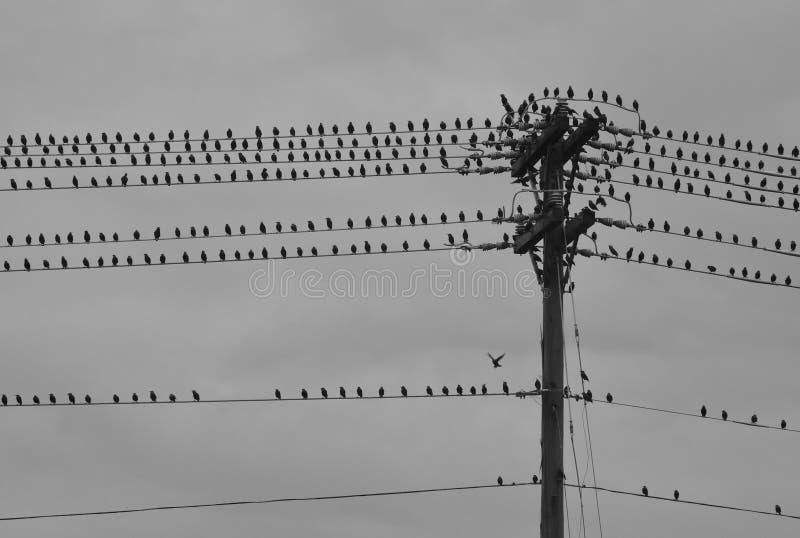 Grupo de pássaros no telefone polo no dia tormentoso fotografia de stock royalty free