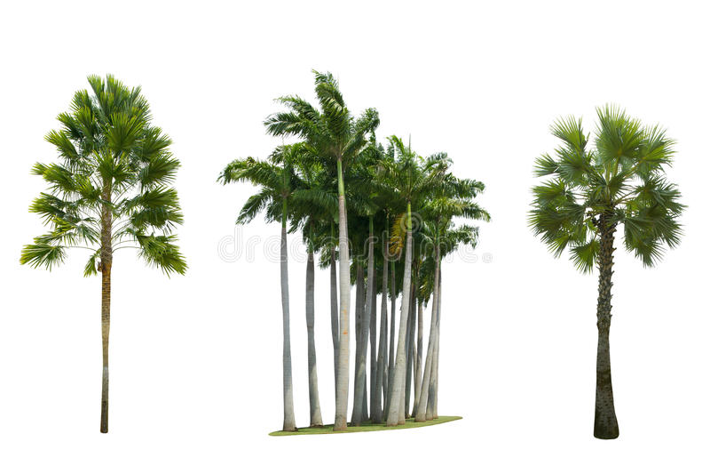Grupo de palmeira isolado no fundo branco foto de stock royalty free