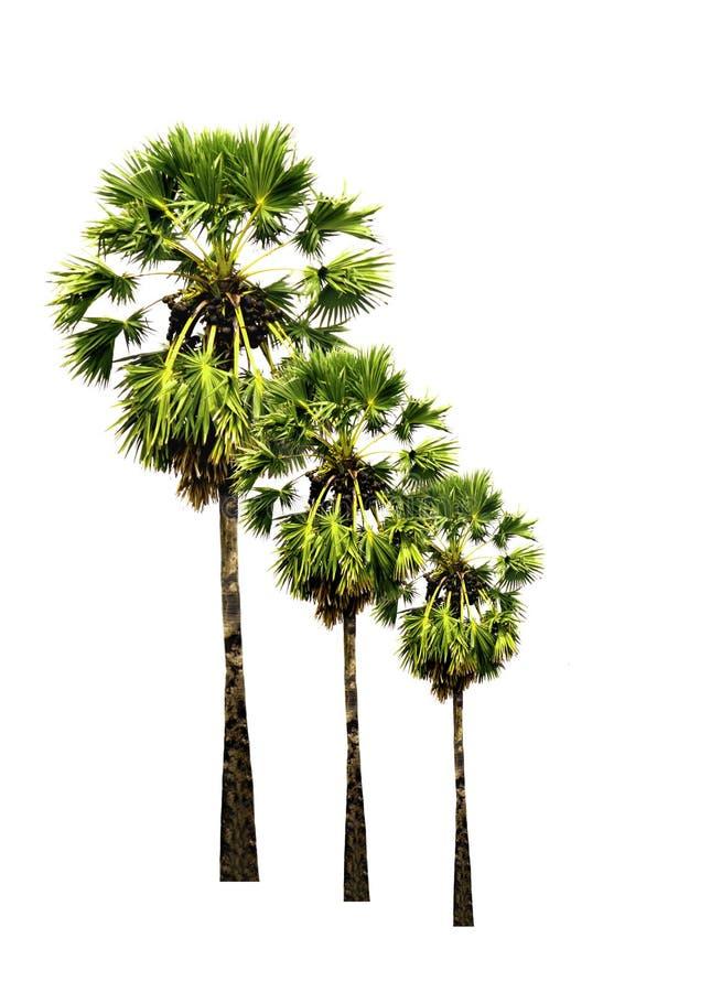 Grupo de palmeiras do açúcar isoladas no fundo branco imagem de stock