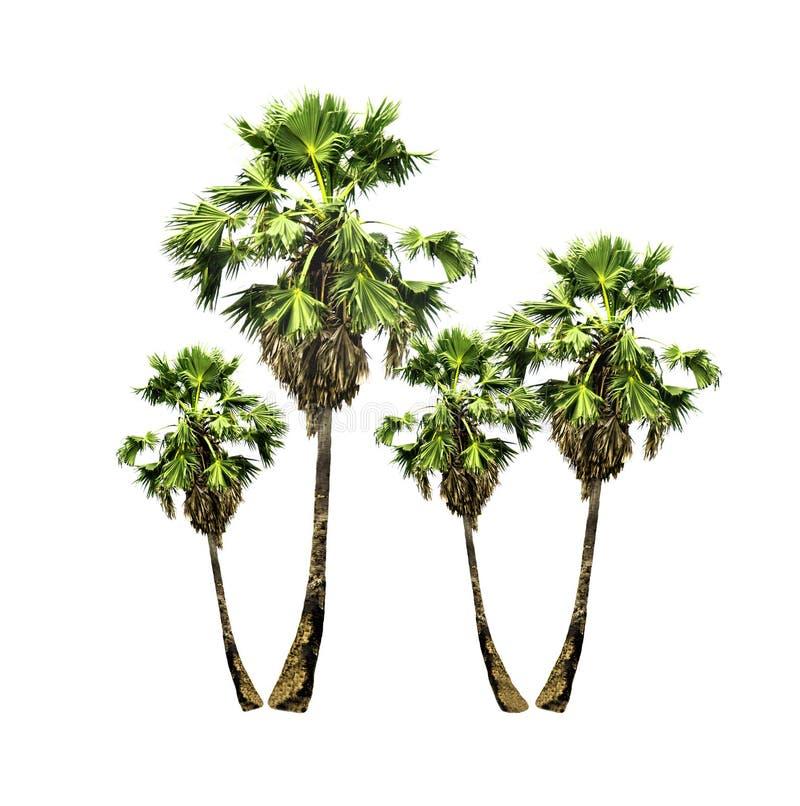 Grupo de palmeiras do açúcar que crescem acima no jardim no recurso local isolado no branco imagens de stock