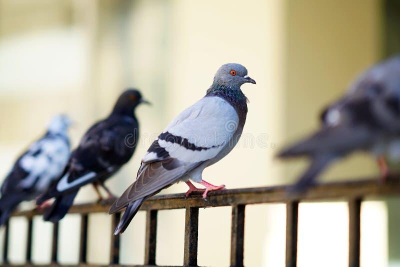 Grupo de palomas en una cerca en Creta imágenes de archivo libres de regalías