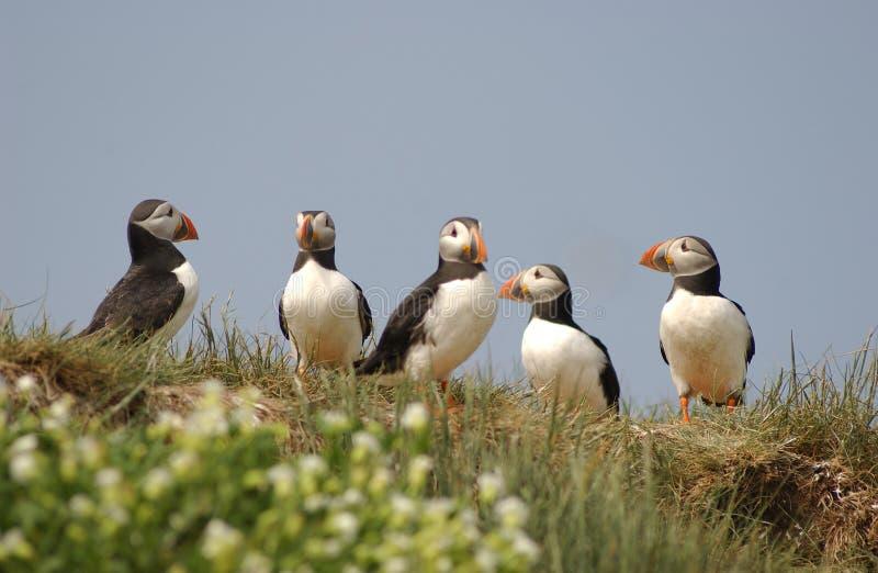 Grupo de papagaio-do-mar fotos de stock