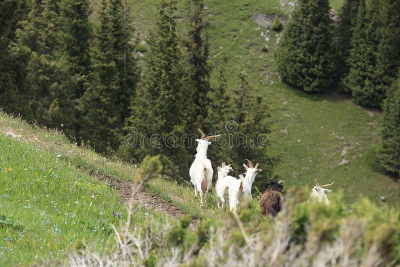 Grupo de passeio dos carneiros imagens de stock