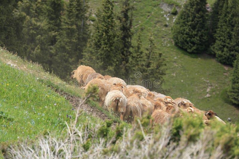 Grupo de passeio dos carneiros foto de stock royalty free