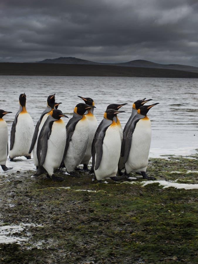 Grupo de passeio dos pinguins de rei fotos de stock