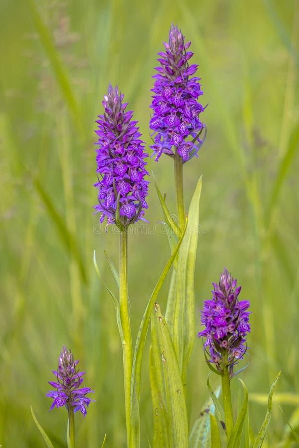 Grupo de paternidad que se asemeja occidental de Marsh Orchid fotografía de archivo libre de regalías