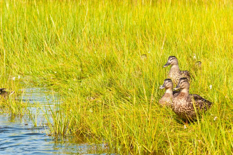 Grupo de pato do pato selvagem que anda através da grama do mar na água traseira da baía de uma ilha da barreira foto de stock