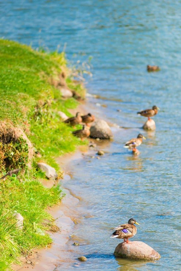 Grupo de patos e de patos perto da água fotos de stock royalty free