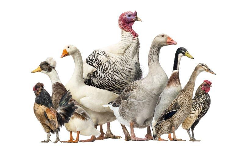 Grupo de patos, gansos e galinhas, isolados foto de stock royalty free