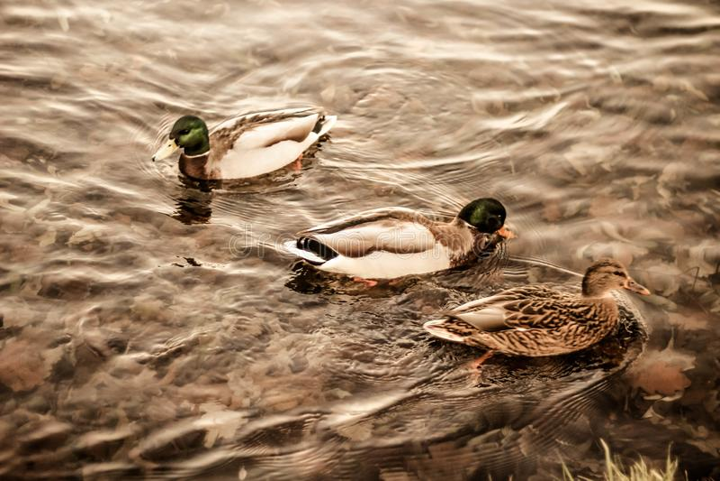 Grupo de patos selvagens que nadam ao longo do lago em uma noite morna do outono durante o por do sol fotos de stock royalty free