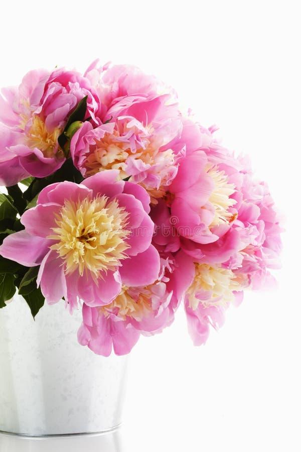 Grupo de peônias cor-de-rosa fotografia de stock