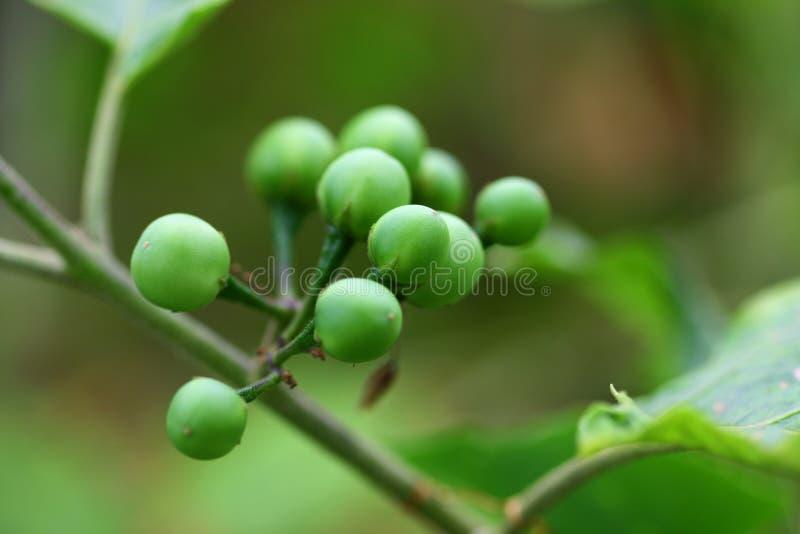 Grupo de Pea Egplant na árvore imagens de stock