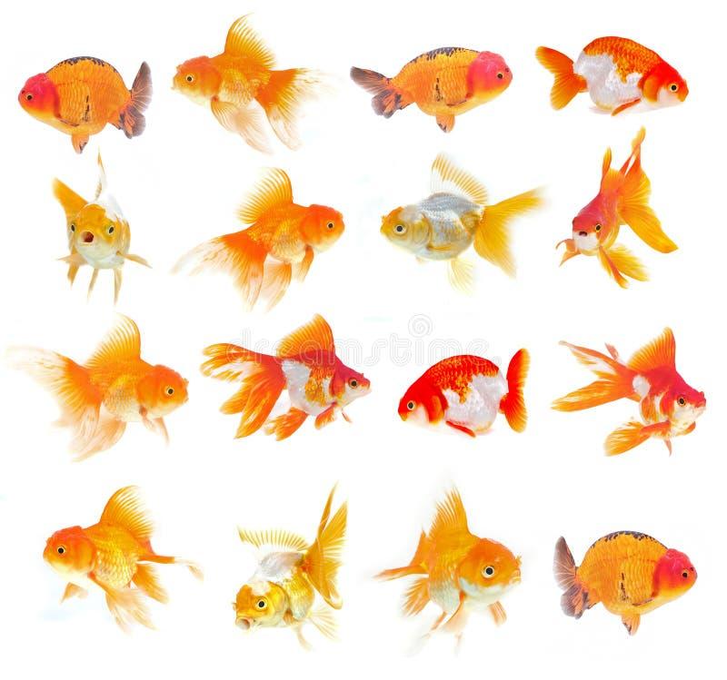 Download Grupo De Peixe Dourado No Fundo Branco Foto de Stock - Imagem de flutuador, fundo: 29844514