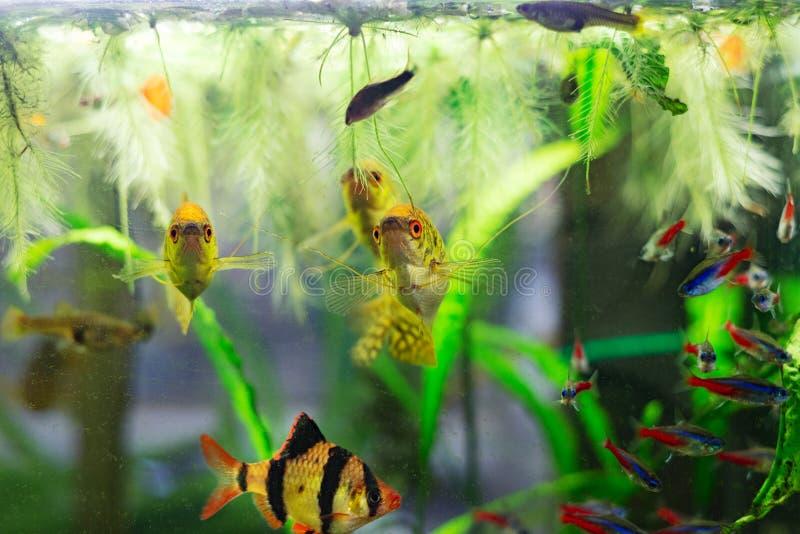 Grupo de peixes coloridos tropicais em plantas verdes de um aquário da bacia de vidro imagens de stock