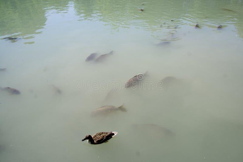 Grupo de peixes e de pato foto de stock royalty free