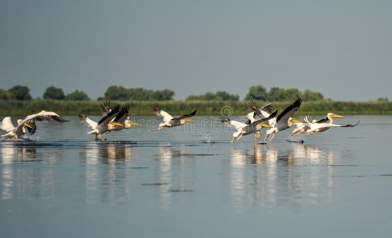 Grupo de pelícanos que toman vuelo Multitud salvaje de los grandes pelícanos comunes que toman vuelo fotos de archivo libres de regalías