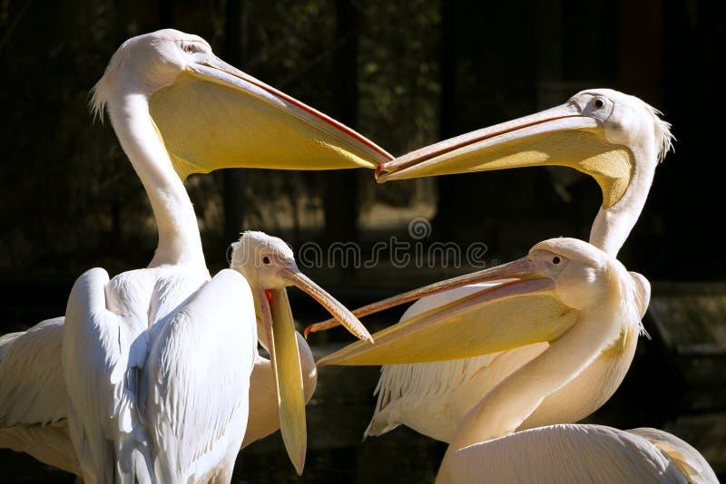 Grupo de pelicanos com os bicos abertos que têm uma conversação caloroso foto de stock royalty free