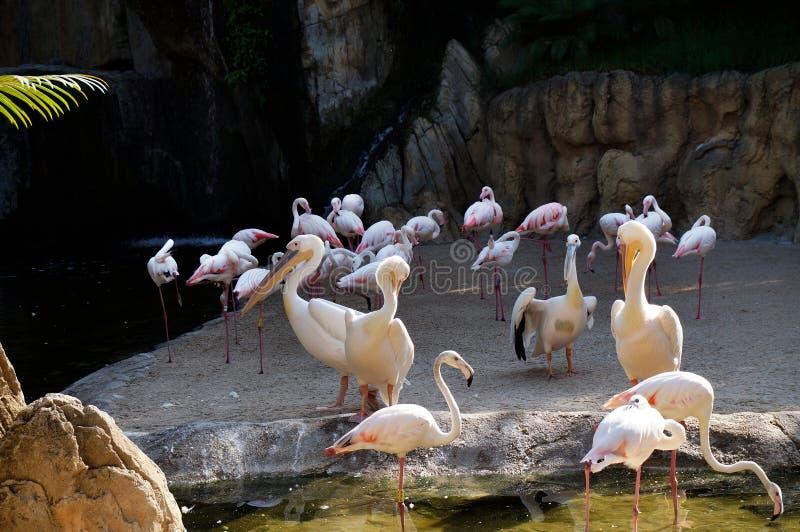 Grupo de pelicanos comuns, onocrotalus do Pelecanus, discutindo entre se com os flamingos no fundo fotos de stock