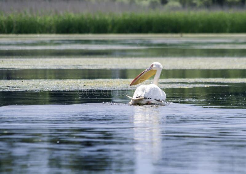 Grupo de pelicanos que tomam o voo Rebanho selvagem dos grandes pelicanos comuns que tomam o onocrotalus do Pelecanus do voo Colô fotos de stock