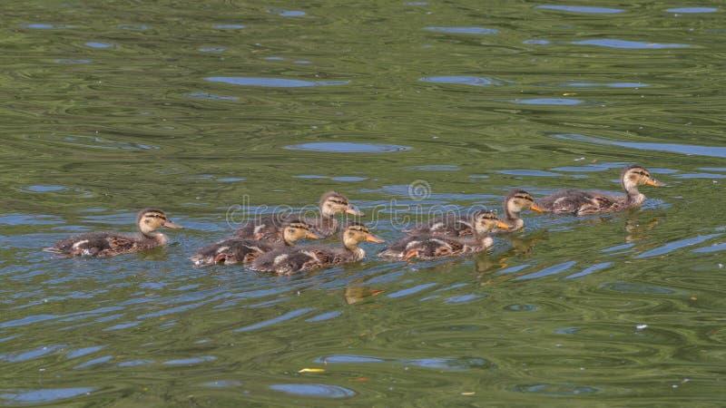 Grupo de pequeños patos del pato silvestre que nadan en el lago fotografía de archivo libre de regalías