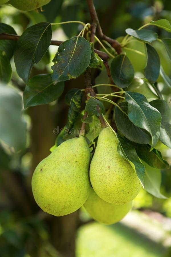 Grupo de peras amarillas y verdes sanas maduras imagenes de archivo