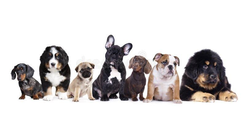Grupo de perrito en un fondo blanco foto de archivo libre de regalías
