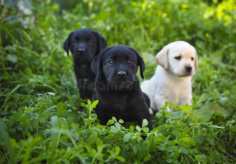 Grupo de perritos adorables del golden retriever en la yarda fotografía de archivo